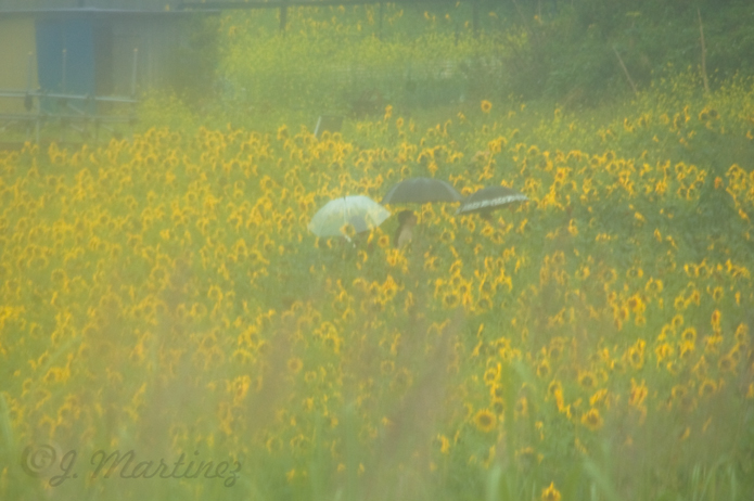 Sunflower-fields-umbrellas