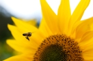 Bee_To_Sunflower