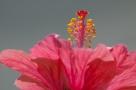 Kierstas-Hibiscus-9989edit