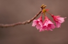 Three_Cherry_Blossoms