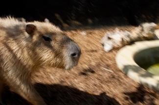 Capybara_Monkey-134