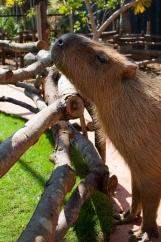 Capybara_Monkey-220