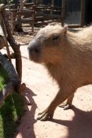 Capybara_Monkey-223